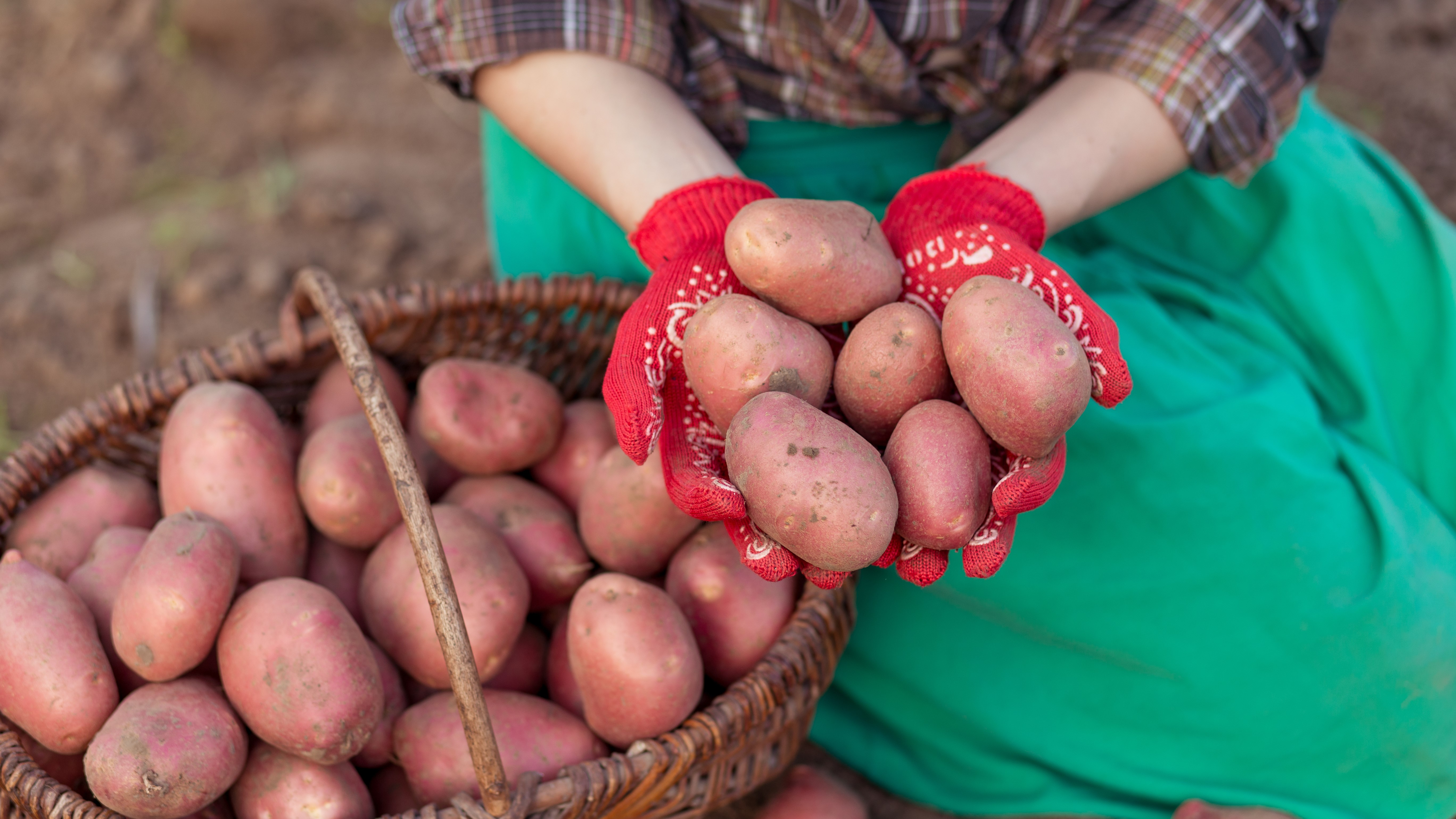 Plant Seed Potatoes