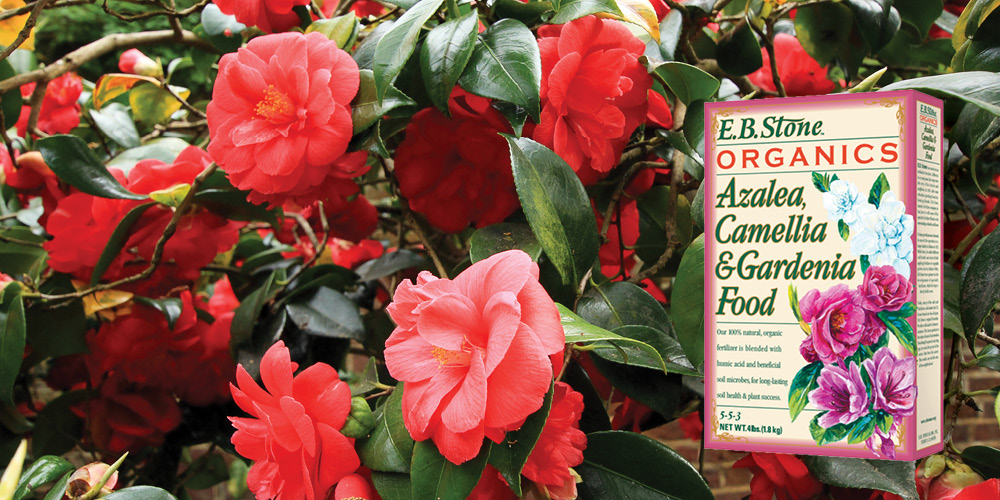 Fertilize camellias, azaleas and rhododendrons