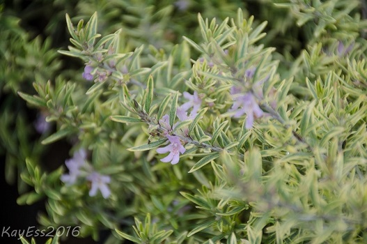 Sorrento Coast Rosemary planting advice