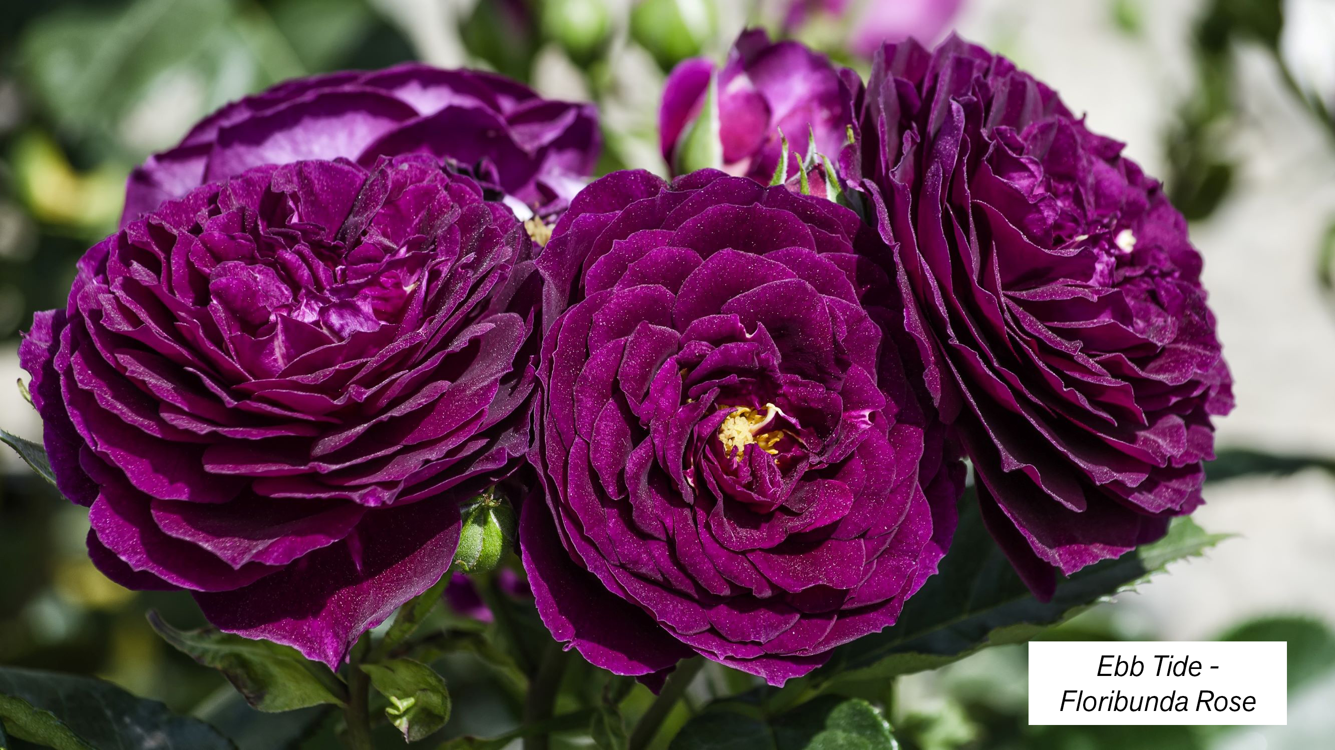 Dormant Season Rose Pruning & Care | Central Valley Builders