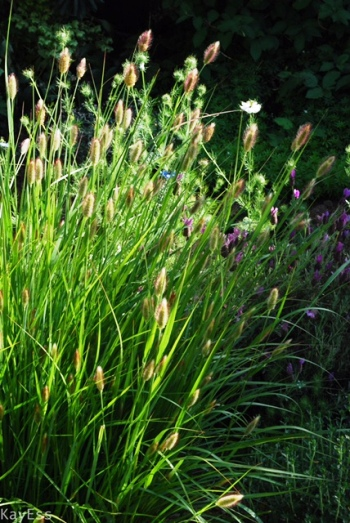 Bunny Tails Fountain Grass